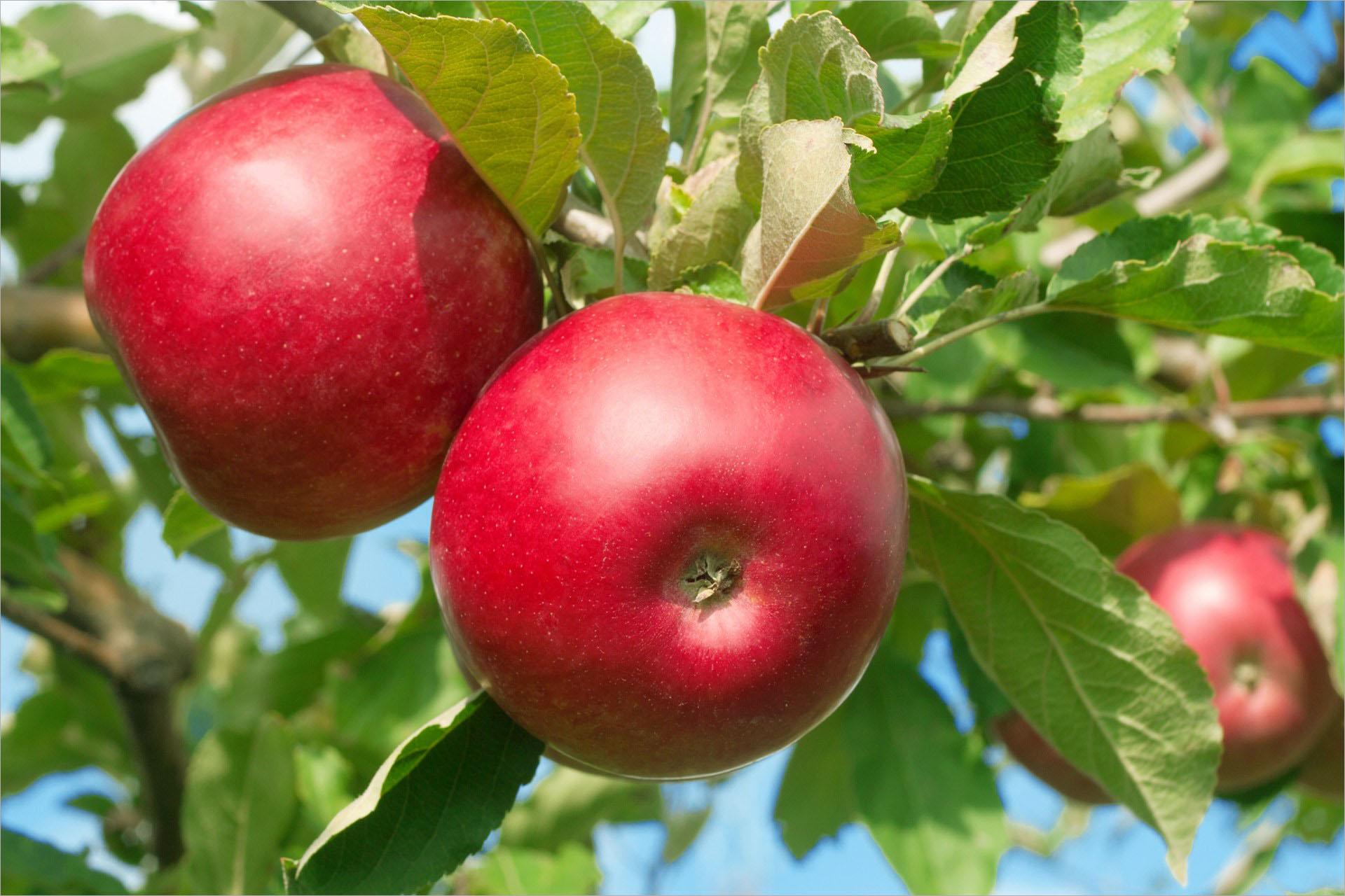 Làm thế nào để chọn được quả trái táo ngon? - 1